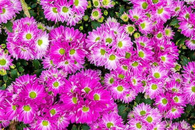 Draufsicht des purpurroten floristen mun blüht auf dem blumengebiet