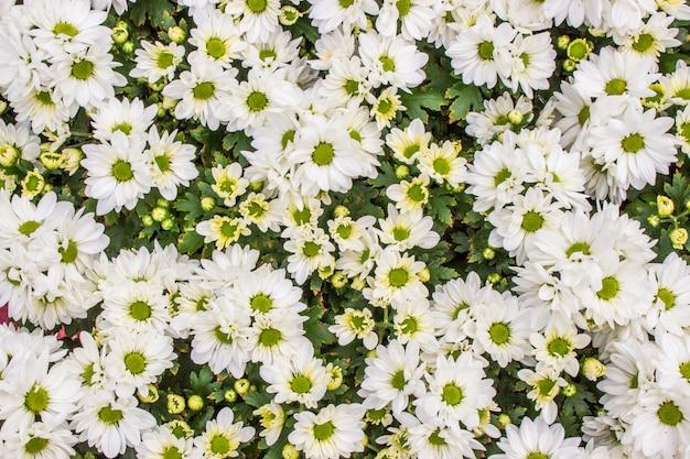 Draufsicht des weißen floristen mun blüht auf dem blumengebiet