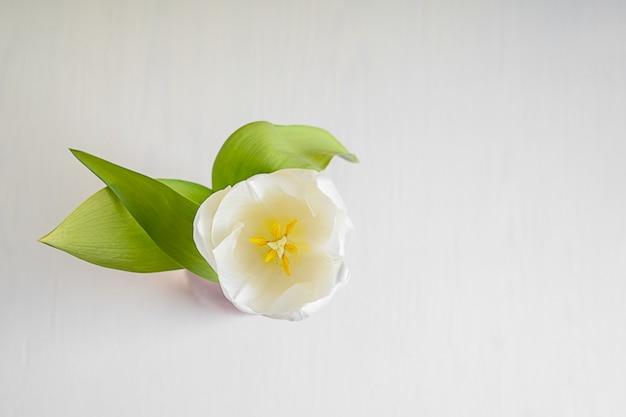 Draufsicht des weißen tulpenblumenkopfes mit blütenblättern und grünen blättern gegen weißen hölzernen hintergrund