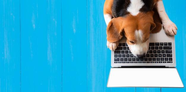 Draufsicht, ein beagle-hund, der mit einem notebook des leeren bildschirms auf einer blauen holzwand arbeitet