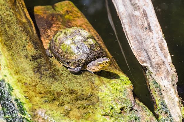 Draufsicht einer lustigen alten schildkröte, die auf einer hölzernen plattform neben dem see sitzt und lustig öffnet