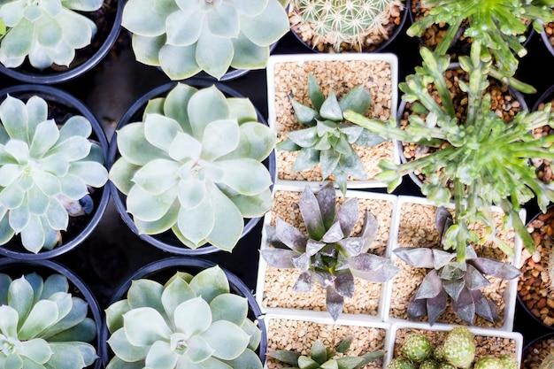Draufsicht gruppe des kaktus in einem topf