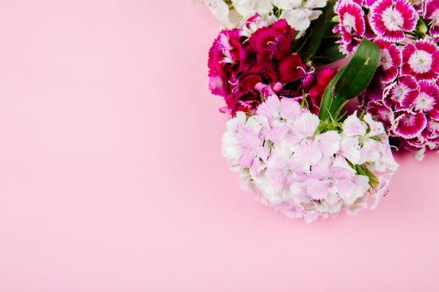 Draufsicht von lila und weißer farbe süßer william oder türkische nelkenblumen lokalisiert auf rosa hintergrund mit kopienraum