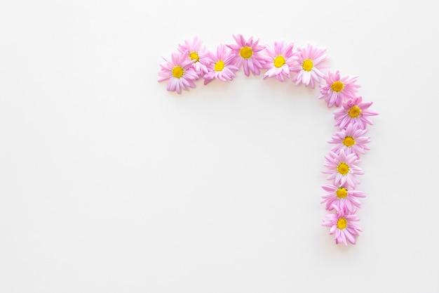 Draufsicht von rosa gänseblümchenblumen vereinbarte an lokalisiert auf weißem hintergrund