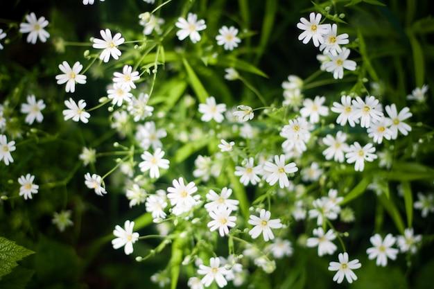 Draufsicht von weißen wilden blumen und von grünem gras.
