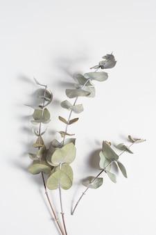 Draufsicht, zweige des eukalyptus. monochrom, horizontal.