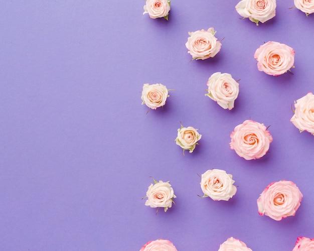 Draufsichtanordnung für rosen auf violettem kopienraumhintergrund