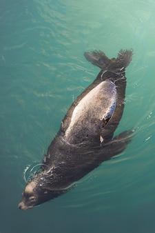 Draufsichtaufnahme einer robbe, die anmutig im ozean schwimmt