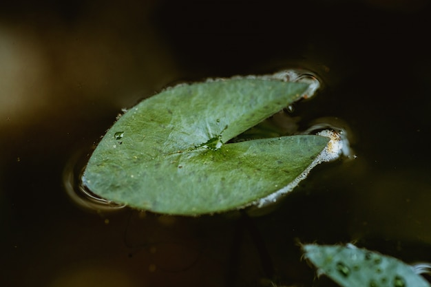 Draufsichtbild, wassertropfen auf einem lotusblatt