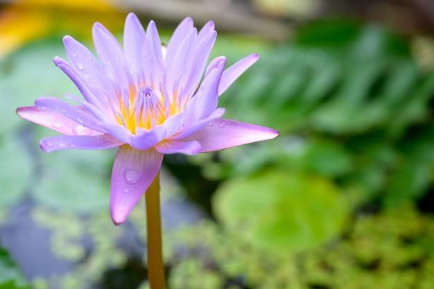 Draufsichtfoto der schönen lotusblume lotusblume im grünen lotosblatthintergrund des teichs