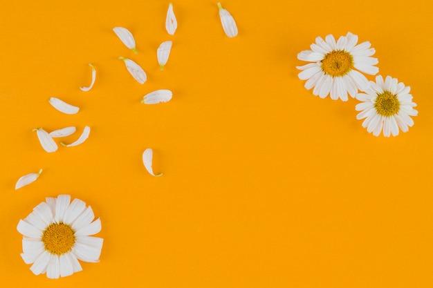 Draufsichtgänseblümchen mit kopienraum