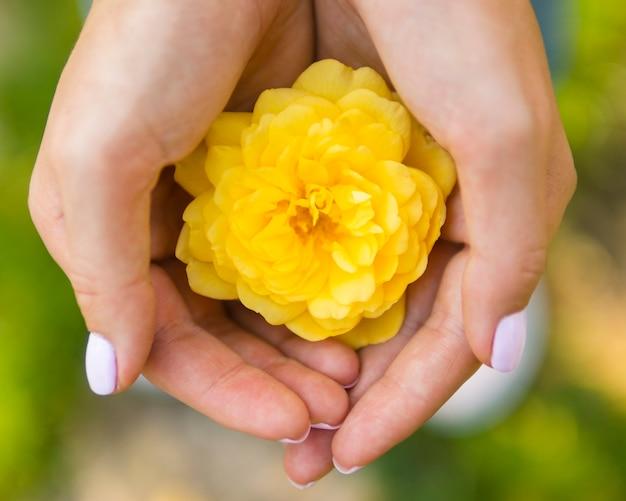 Draufsichthand, die natürliche rose hält