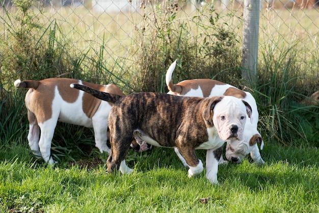 Drei amerikanische bulldoggenwelpenhunde spielen in bewegung auf natur auf grünem gras.