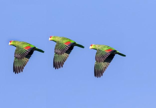 Drei aras hintereinander fliegen am blauen himmel, papageien fliegen durch den himmel