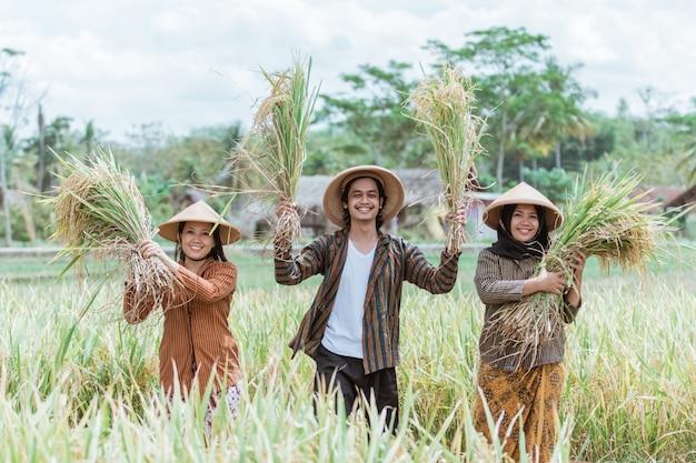 Drei asiatische bauern halten und heben reispflanzen, die nach der gemeinsamen ernte auf den feldern geerntet wurden