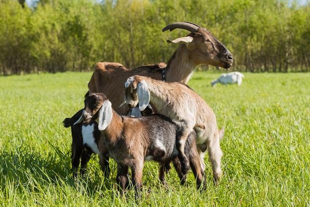Drei babyziegen mit mutter, die auf grünem rasen stehen