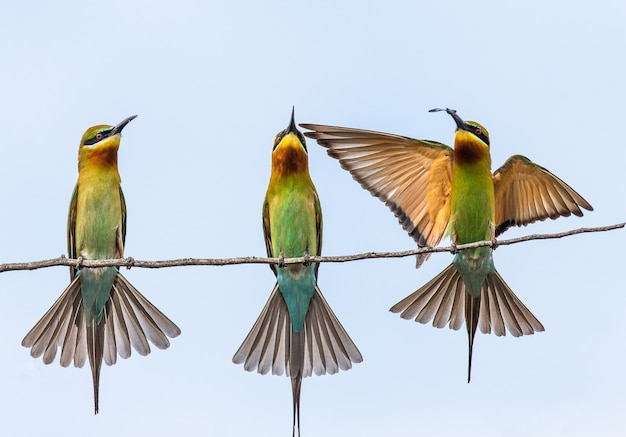 Drei bienenfresser auf einem zweig yala national park