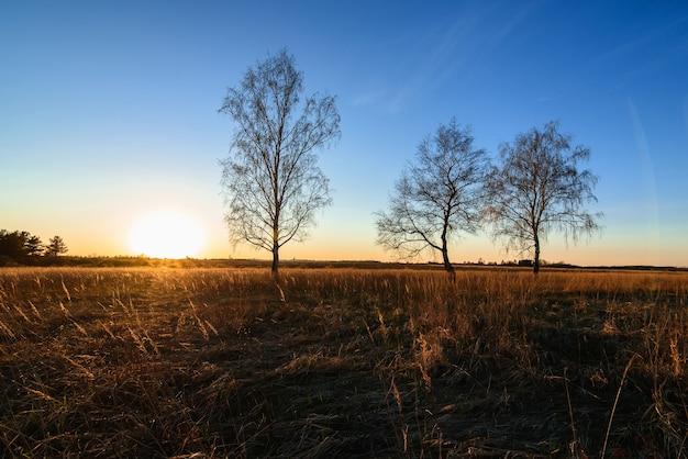 Drei birken in einem sonnigen sonnenuntergang auf einem feld