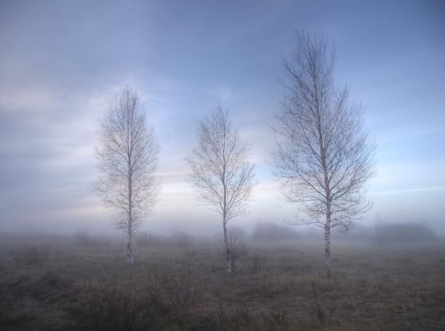 Drei birken inmitten von nebel am frühen morgen im frühjahr