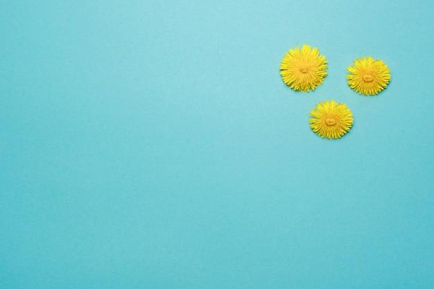 Drei blühender löwenzahn gelber kopfausschnitt auf blauem hintergrund