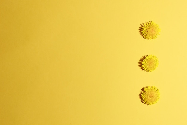 Drei blühender löwenzahn gelber kopfausschnitt auf gelbem hintergrund