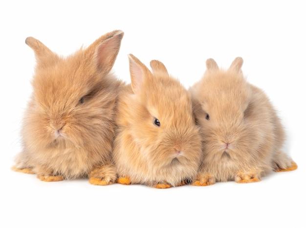 Drei braune kaninchen des babys lokalisiert auf weißem hintergrund. reizende aktion des babykaninchensitzens.