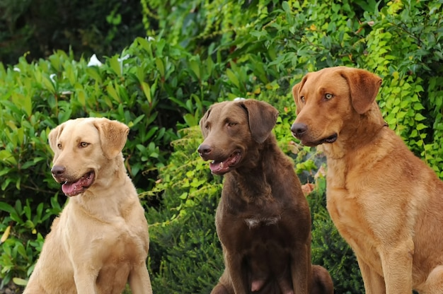 Drei chesapeake bay retriever-hunde
