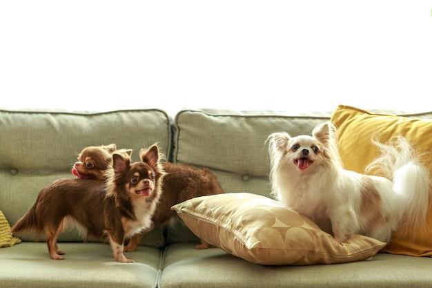 Drei chihuahua-hunde auf dem sofa