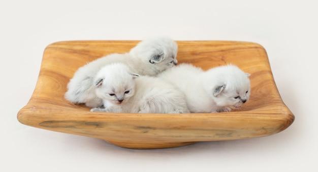 Drei entzückende kleine ragdoll-kätzchen, die auf dem holzständer liegen und schlafen sleeping