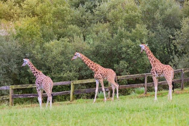 Drei erstaunliche große giraffen