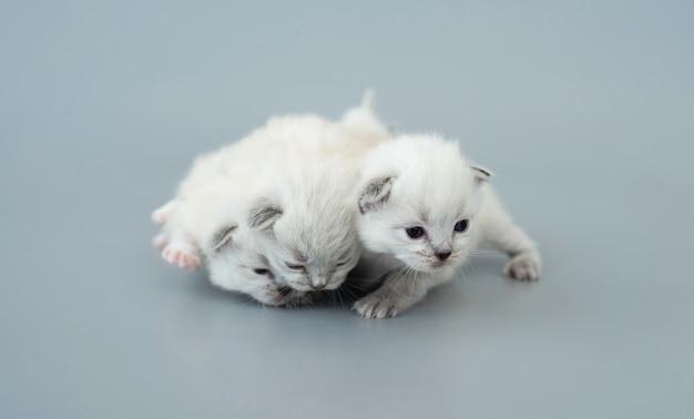 Drei flauschige ragdoll-kätzchen, die nahe beieinander liegen, isoliert auf hellblauem hintergrund