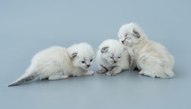 Drei flauschige ragdoll-kätzchen sitzen zusammen isoliert auf hellblauem hintergrund