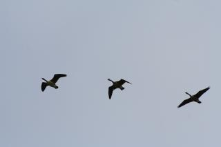 Drei fliegenden gänse