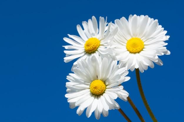 Drei gänseblümchen auf einem blauen himmel