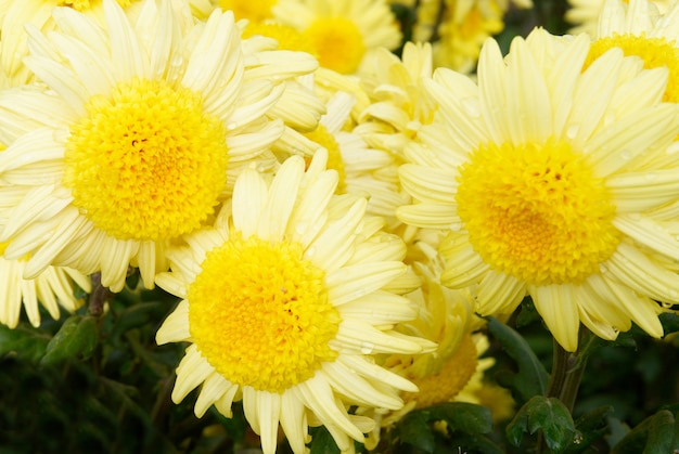 Drei gelbe chrysanthemen