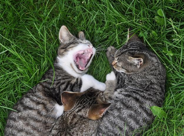 Drei getigerte katzen schlafen im gras
