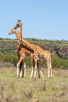 Drei giraffen tummeln sich in der savanne