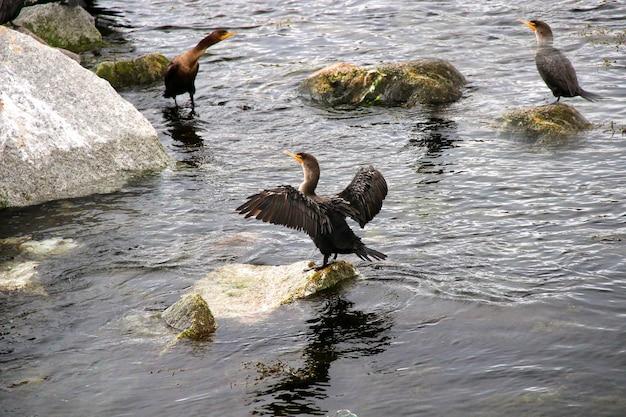 Drei graue tölpel sitzen auf felsen im meer