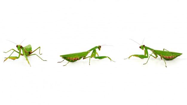 Drei grüne gottesanbeterin, ein insekt in verschiedenen posen