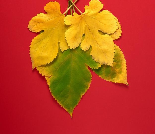 Drei grüne und gelbe blätter einer maulbeere auf einem roten hintergrund