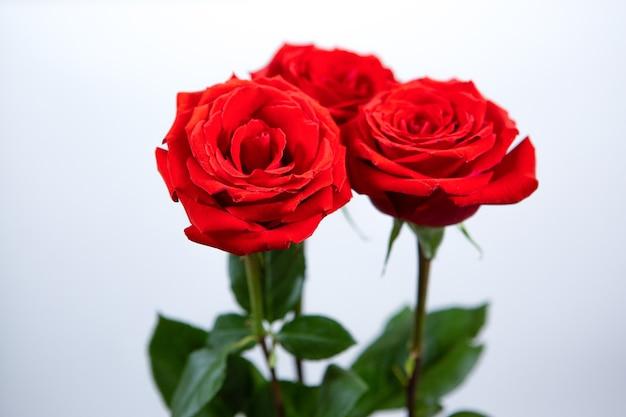 Drei herrliche rote rosen auf einem weißen isolierten hintergrund.