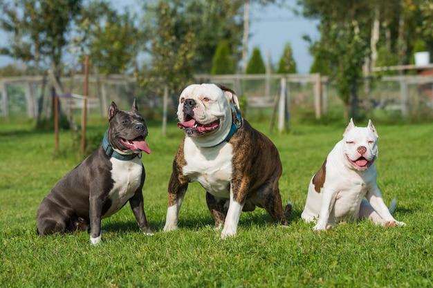 Drei hunde american bully welpe, american staffordshire terrier und american bulldog sitzen auf grünem gras.