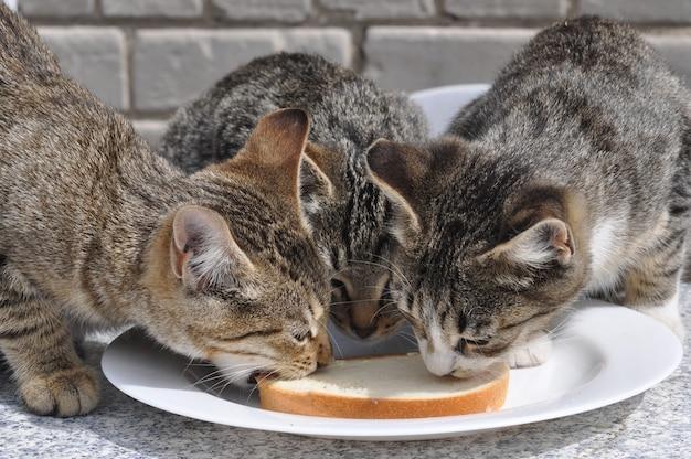 Drei hungrige katzen, die weißbrot und butter auf dem tisch essen