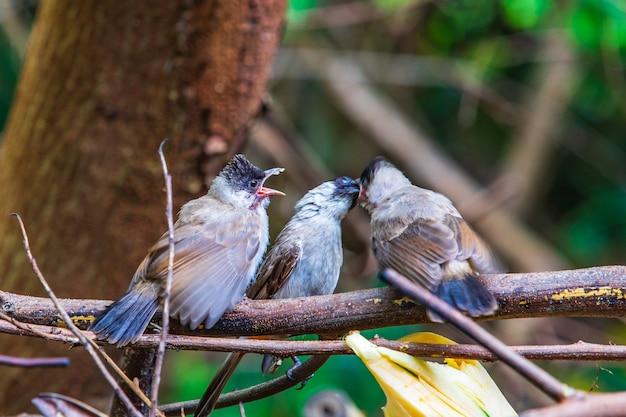 Drei junge grasmücken zum singen auf der niederlassung.