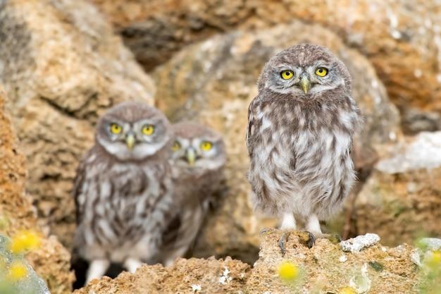 Drei junge kleine eulen, athene noctua, stehen auf den steinen in der nähe des lochs