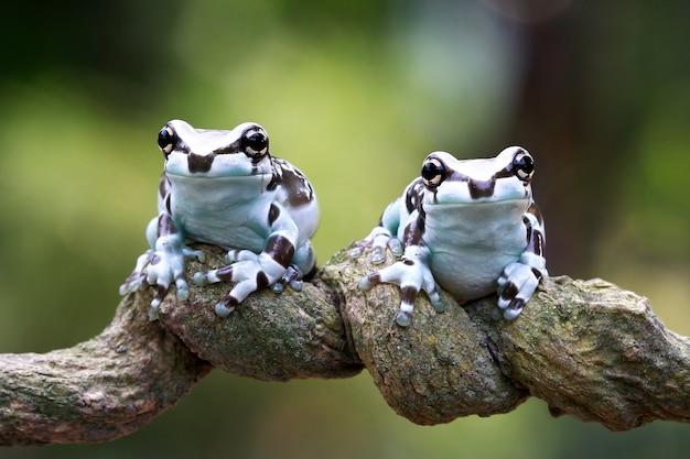 Drei kleine amazonas-milchfrosch auf zweig