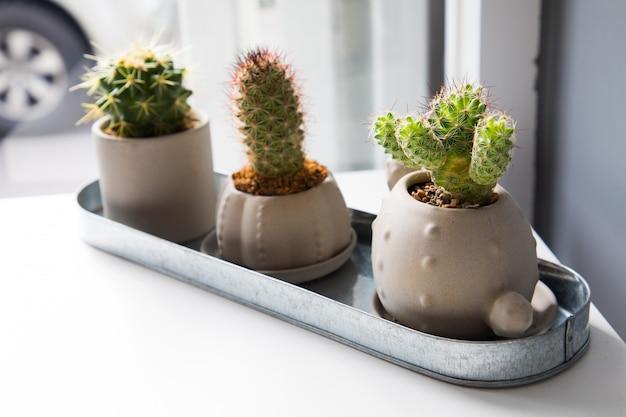 Drei kleine kaktusblumen auf weißer tabelle