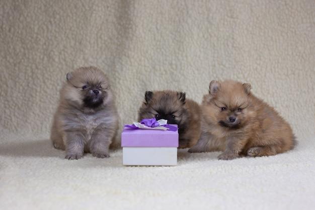 Drei kleine monatelange pommersche welpen sitzen neben einer geschenkbox. urlaubs- und geschenkkonzept, welpe als geschenk.