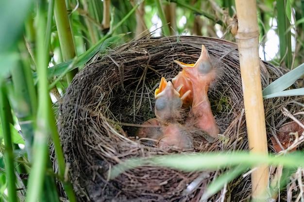Drei kleine schwarze vögel, die den mund in einem nest öffnen