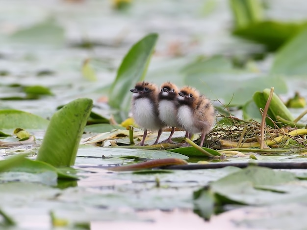 Drei küken seeschwalbe auf dem nest.